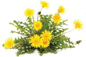 Dandelion-Leal-Powder-1