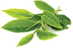 Green-Tea-Leaf-Extract-2