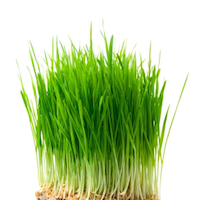 wheat-grass